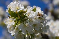 Abeja y cerezo de la miel Foto de archivo libre de regalías