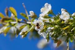 Abeja y cerezo de la miel Imagenes de archivo