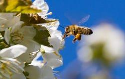 Abeja y cerezo de la miel Fotos de archivo libres de regalías