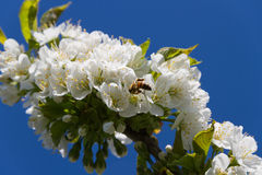 Abeja y cerezo de la miel Fotografía de archivo