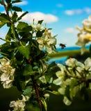 Abeja y cielo treespring de la manzana floreciente con las nubes de cúmulo Fotos de archivo libres de regalías