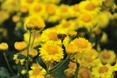 Abeja y crisantemo Fotografía de archivo