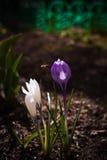 Abeja y dos azafranes en mi jardín Fotos de archivo