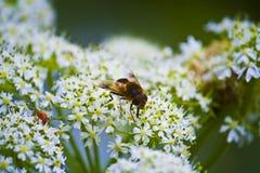 Abeja y escarabajo Imagenes de archivo