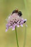 Abeja y escarabajo en la flor púrpura Imagen de archivo libre de regalías