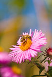 Abeja y flor. Fotos de archivo