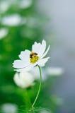 Abeja y flor Imagenes de archivo
