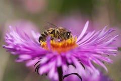 Abeja y flor. Fotografía de archivo libre de regalías