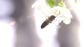 Abeja y flor almacen de metraje de vídeo