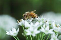 Abeja y flor Fotos de archivo libres de regalías