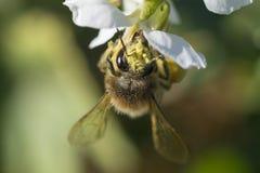 Abeja y flor Imagen de archivo