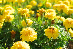 Abeja y flor Fotos de archivo