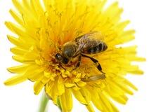 Abeja y flor amarilla Imágenes de archivo libres de regalías