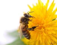 Abeja y flor amarilla Imagen de archivo