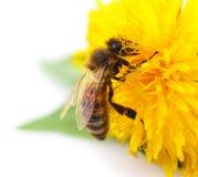 Abeja y flor amarilla Fotos de archivo libres de regalías