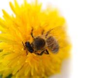 Abeja y flor amarilla Fotografía de archivo libre de regalías
