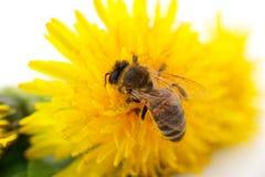 Abeja y flor amarilla Imagen de archivo libre de regalías