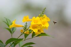 Abeja y flor amarilla, anciano amarilla Imagen de archivo libre de regalías