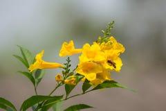 Abeja y flor amarilla, anciano amarilla Foto de archivo