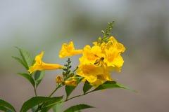 Abeja y flor amarilla, anciano amarilla Imagen de archivo