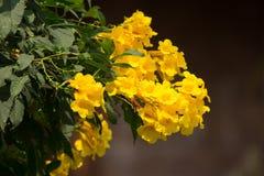 Abeja y flor amarilla, anciano amarilla Fotografía de archivo