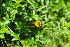 Abeja y flor amarilla con el fondo verde de la licencia Foto de archivo