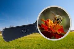 Abeja y flor amarilla debajo de la lupa, trayectoria de recortes Foto de archivo libre de regalías