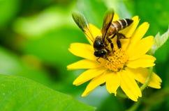 Abeja y flor amarilla en naturaleza verde Imágenes de archivo libres de regalías