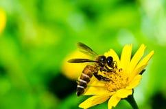 Abeja y flor amarilla en naturaleza verde Foto de archivo