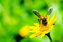 Abeja y flor amarilla en naturaleza verde Imagenes de archivo