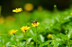 Abeja y flor amarilla en naturaleza verde Foto de archivo libre de regalías