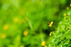 Abeja y flor amarilla en naturaleza verde Imagen de archivo