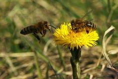 Abeja y flor amarilla y en segundo lugar Imagen de archivo