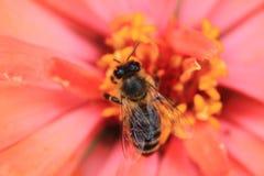 Abeja y flor anaranjada Foto de archivo