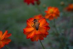 Abeja y flor anaranjada Foto de archivo libre de regalías