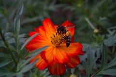 Abeja y flor anaranjada Imagenes de archivo