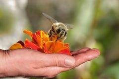 Abeja y flor anaranjada en una mano Imágenes de archivo libres de regalías