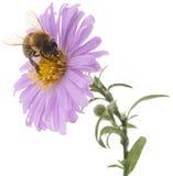 Abeja y flor azul Imagen de archivo libre de regalías