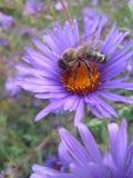 Abeja y flor azul Imagenes de archivo