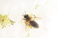 Abeja y flor blanca Fotos de archivo libres de regalías