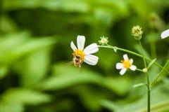 Abeja y flor blanca Imágenes de archivo libres de regalías