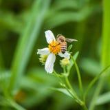 Abeja y flor blanca Imagenes de archivo