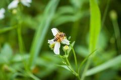 Abeja y flor blanca Fotos de archivo