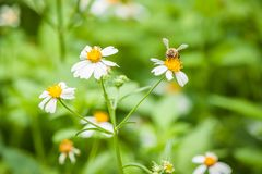 Abeja y flor blanca Foto de archivo libre de regalías