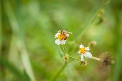 Abeja y flor blanca Imagen de archivo libre de regalías