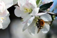 Abeja y flor blanco de la manzana Fotografía de archivo
