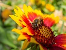 Abeja y flor colorida Fotos de archivo libres de regalías