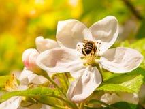 Abeja y flor de cerezo Fotografía de archivo libre de regalías