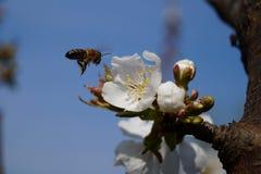 Abeja y flor de cerezo Foto de archivo libre de regalías