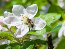 Abeja y flor de cerezo Imagen de archivo